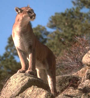 north hills cougar women The cougar is a new world mammal that lives in north and south america five types of cougars live in south and central america, and a sixth type of cougar lives in north america scientists also believe that the florida panther, which lives in florida, is an additional type of cougar cougars once.