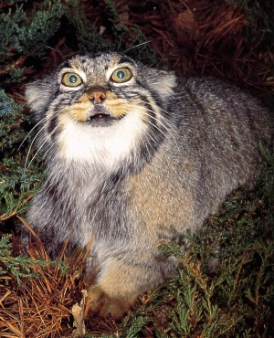 Show Me Pictures Of Pallas Cats